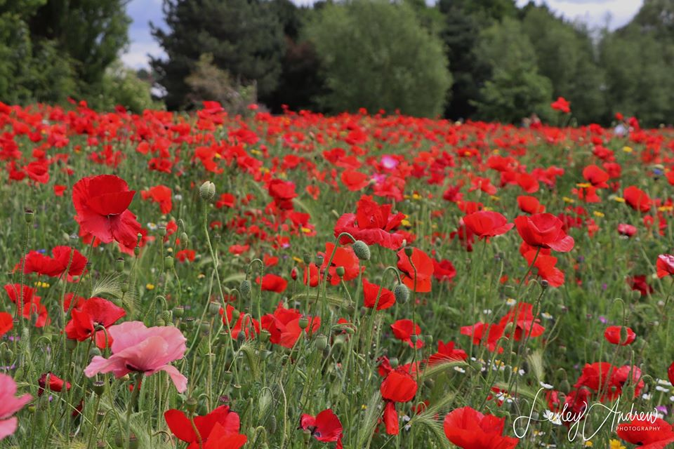 Poppies at Plock Court by LPA Photography