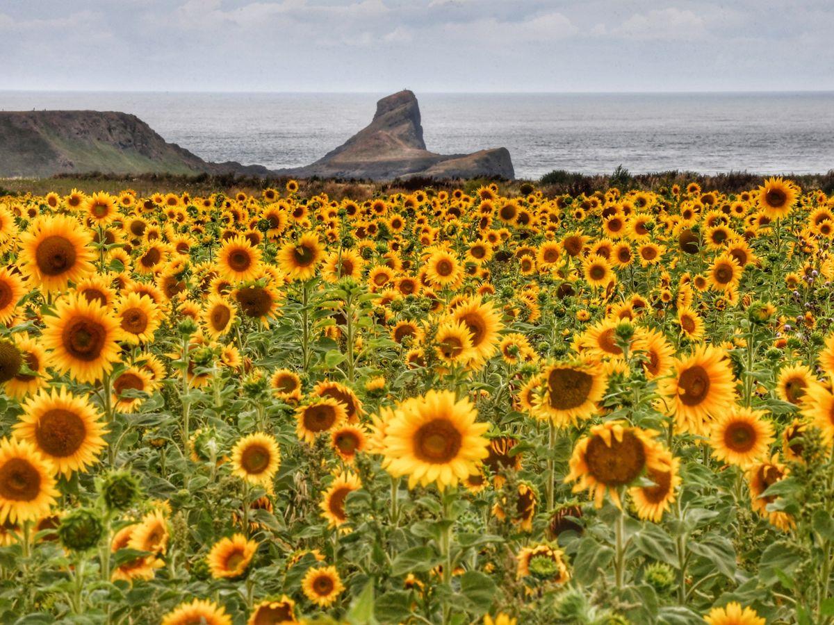 Flower fields: Sunflowers in Rhossili by Wales Online