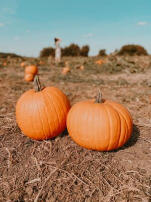 Pumpkin picking at Overfarm Market, Gloucester